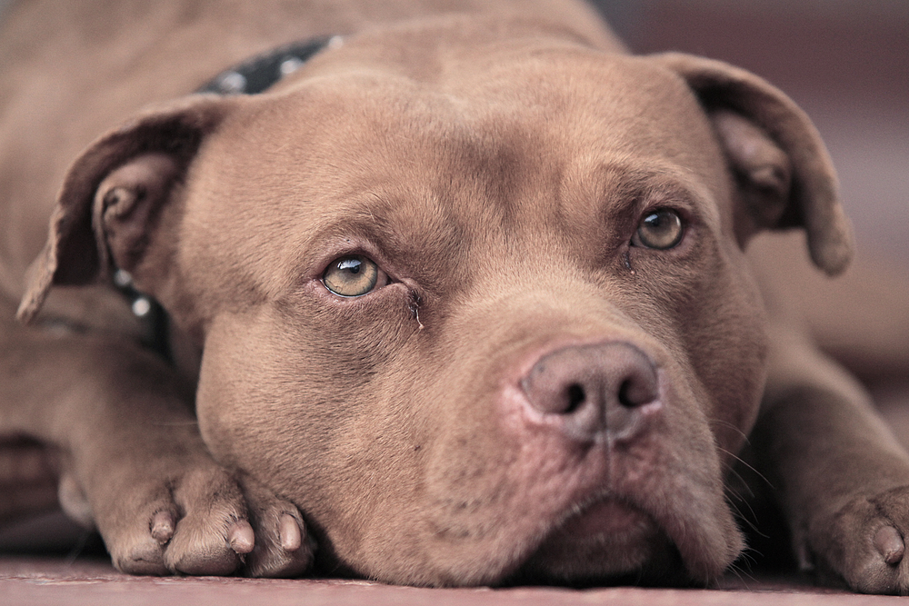 pitbull-sad