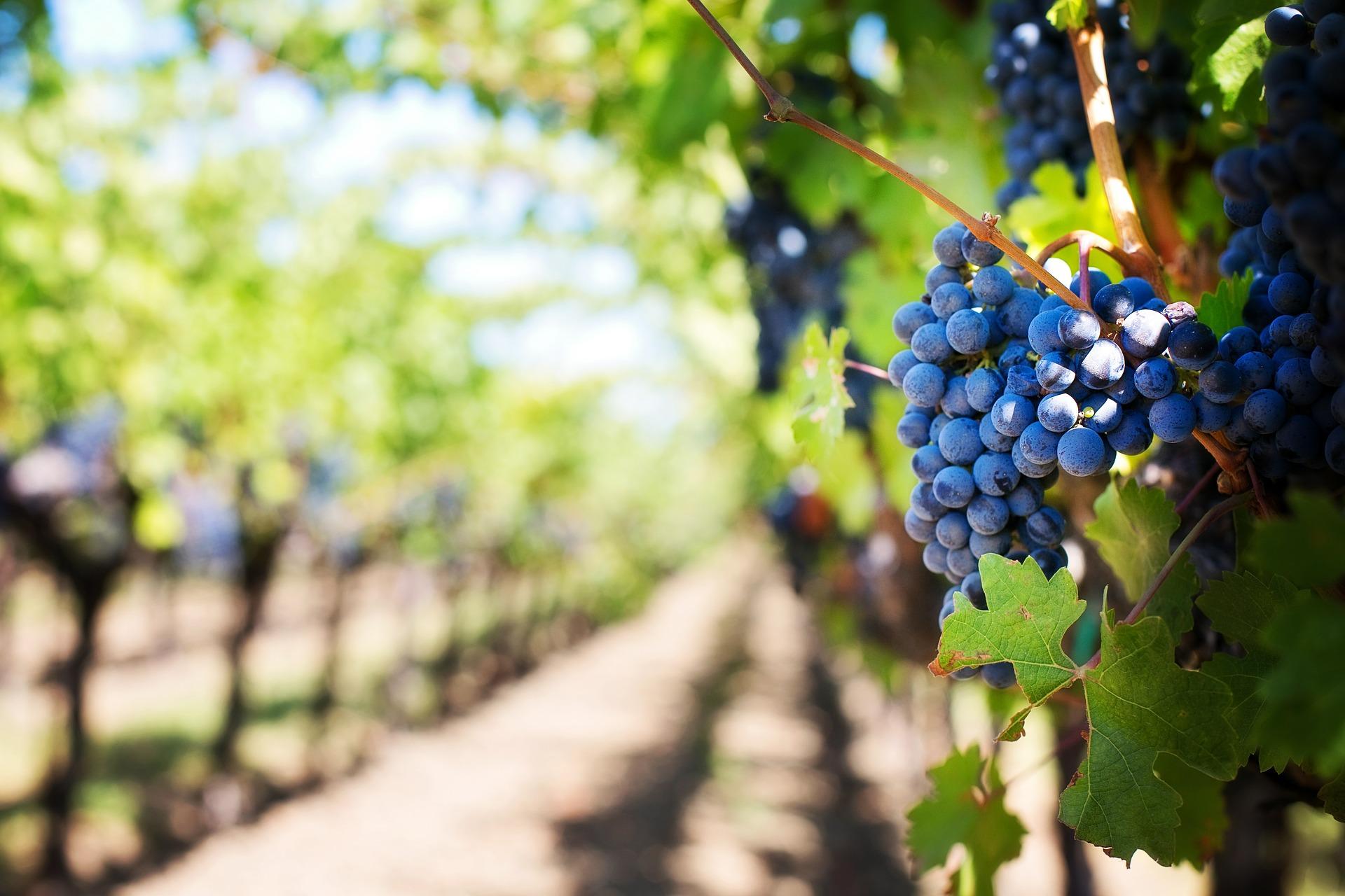 purple-grapes-553463_1920-vignobles-québec-vin
