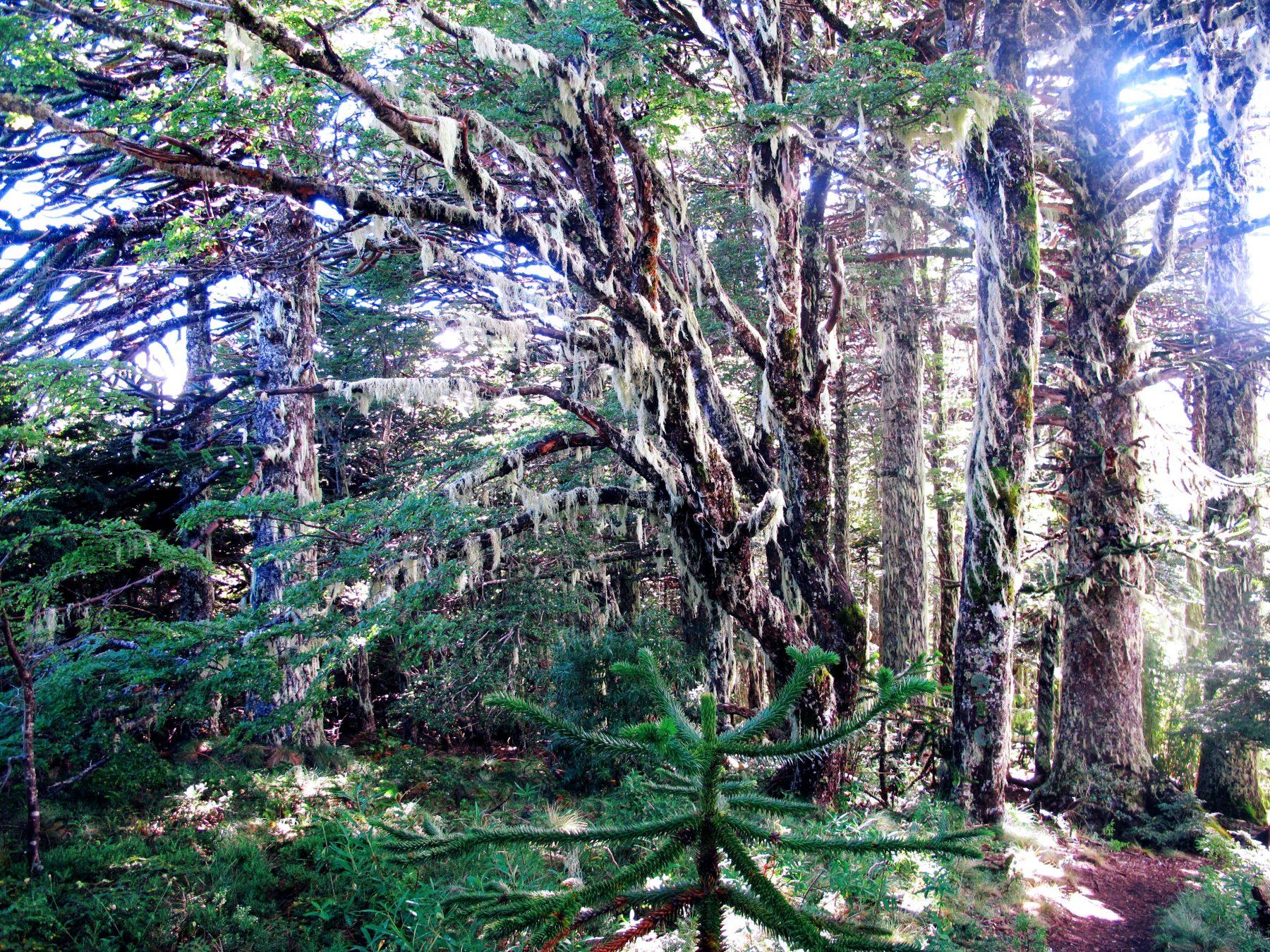 les arbres millénaires du parc Huerquehue