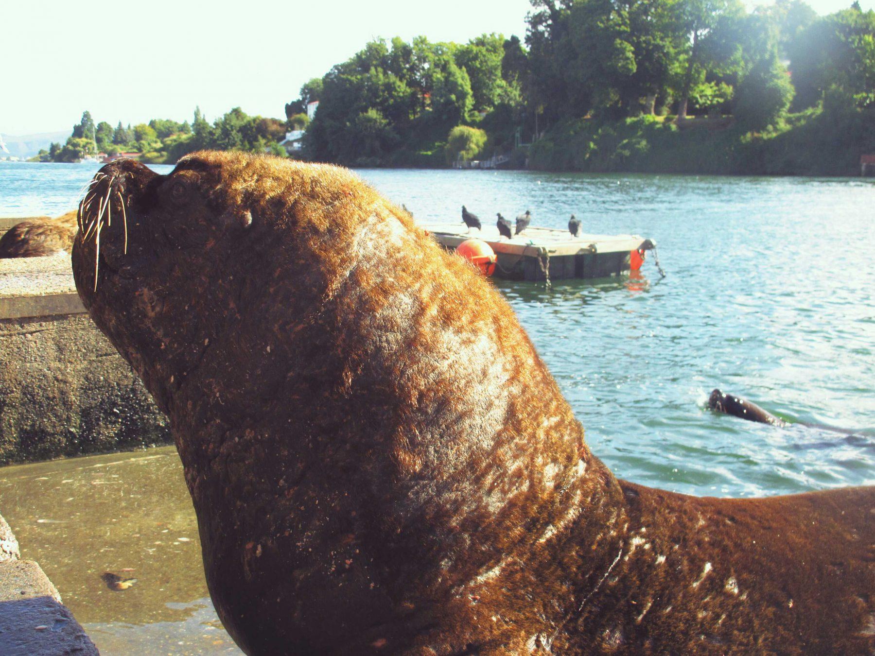 les loups de mer a Valdivia