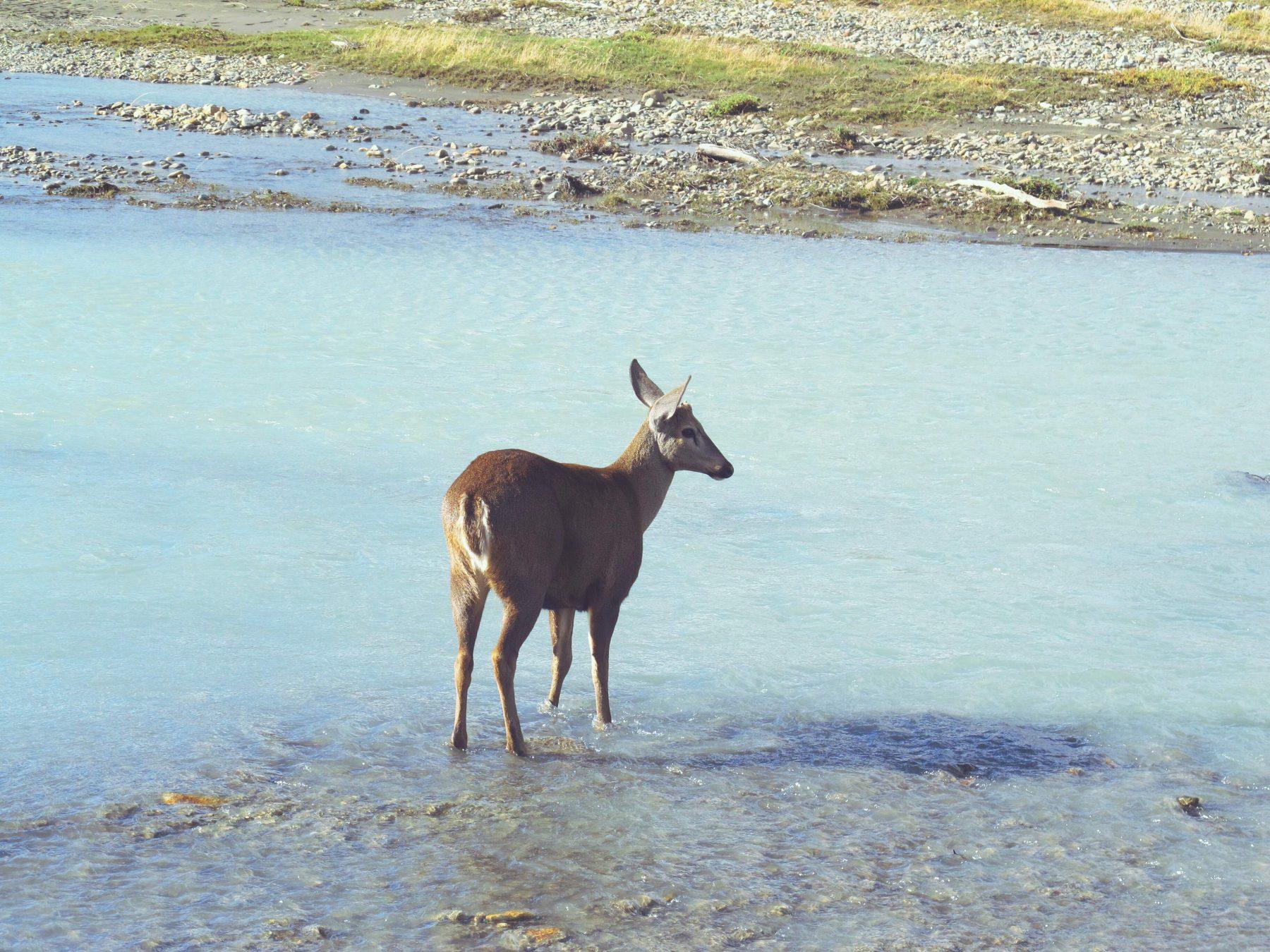 Une biche croisée au Parque Nacional Los Glaciares