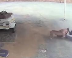 Watch Dog attack intruder in Middelburg