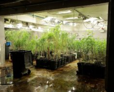 45-year-old suspect arrested for operating a hydroponic laboratory of cannabis - Western Cape