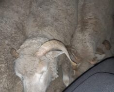 A 37-year-old male suspect was arrested after he was found with ten live sheep - Eastern Cape