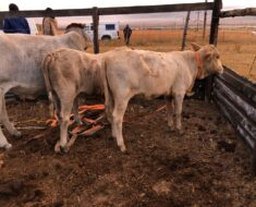 Operations in the fight against stock theft in the province are still on-going - KwaZulu-Natal