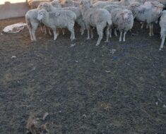 Police recover 21 sheep in Bityi with owner unknown - Eastern Cape