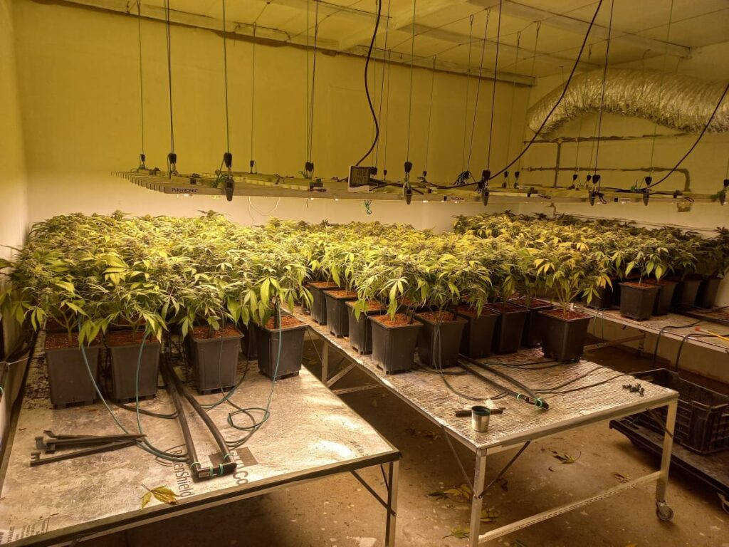 Suspects arrested for cultivation of dagga in Strand and Somerset West - Western Cape