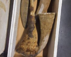 Wildlife trafficking pair appeared in court - MPUMALANGA