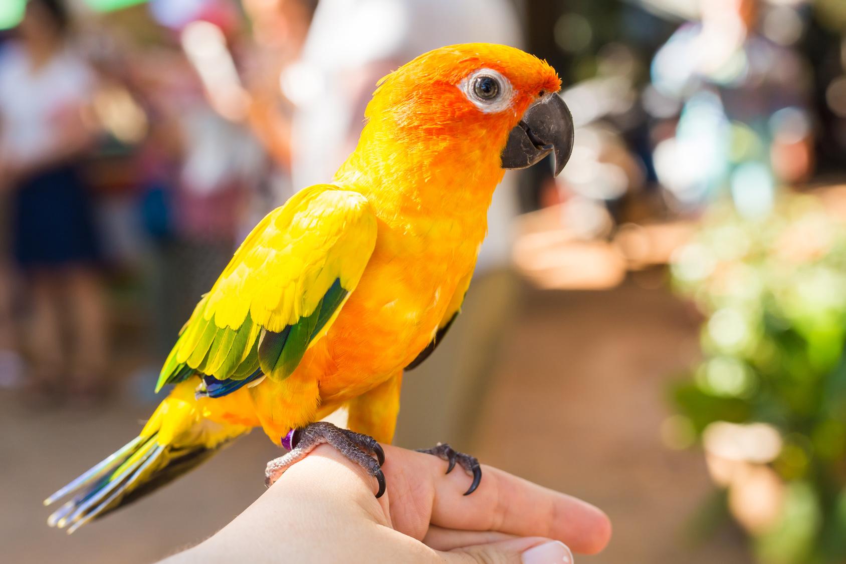 Colorful yellow parrot Sun Conure, Aratinga solstitialis.