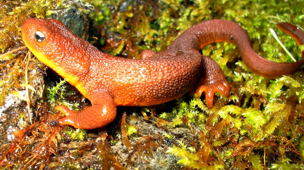 Facing Down the Apocalypse VI: Rough-skinned Newts