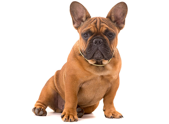 french bull dog for sale copy