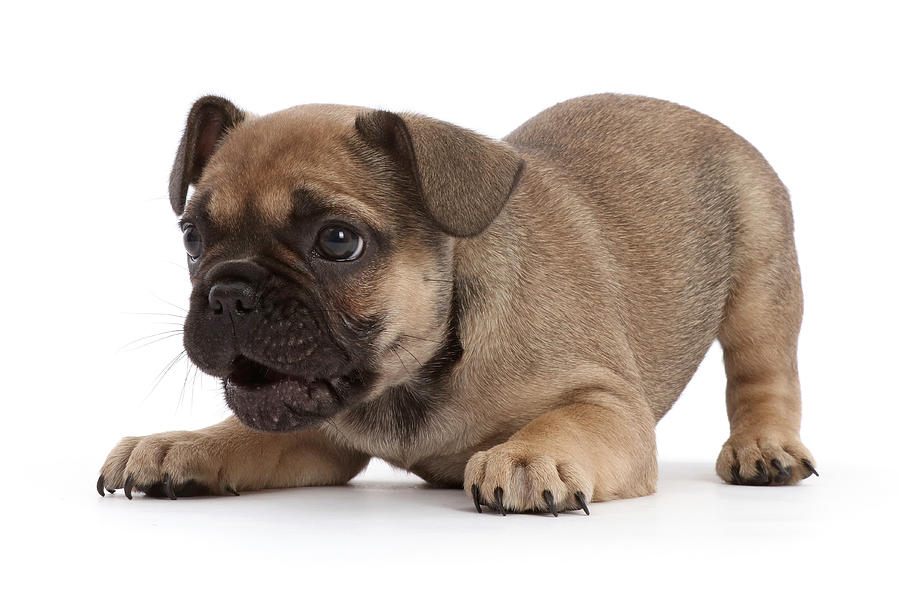 french bull odgs for sale