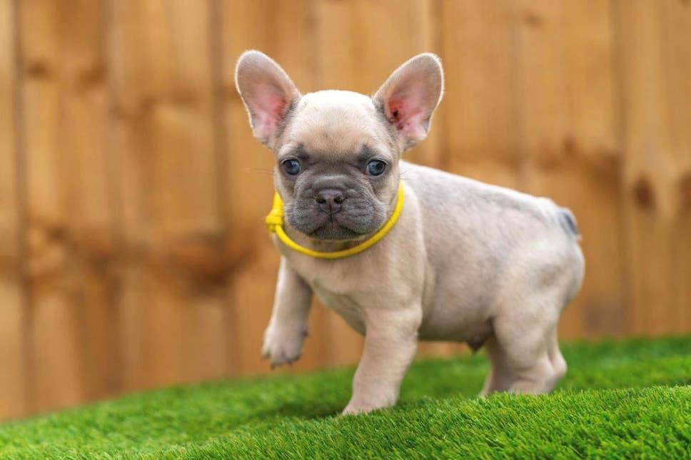 michigan french bulldog breeder