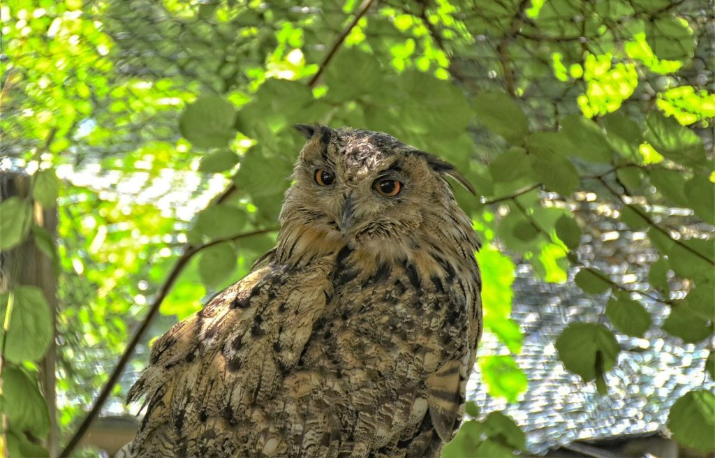 eagle owl, forest dwellers, plumage