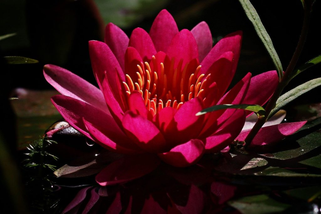 water lily, red, flower