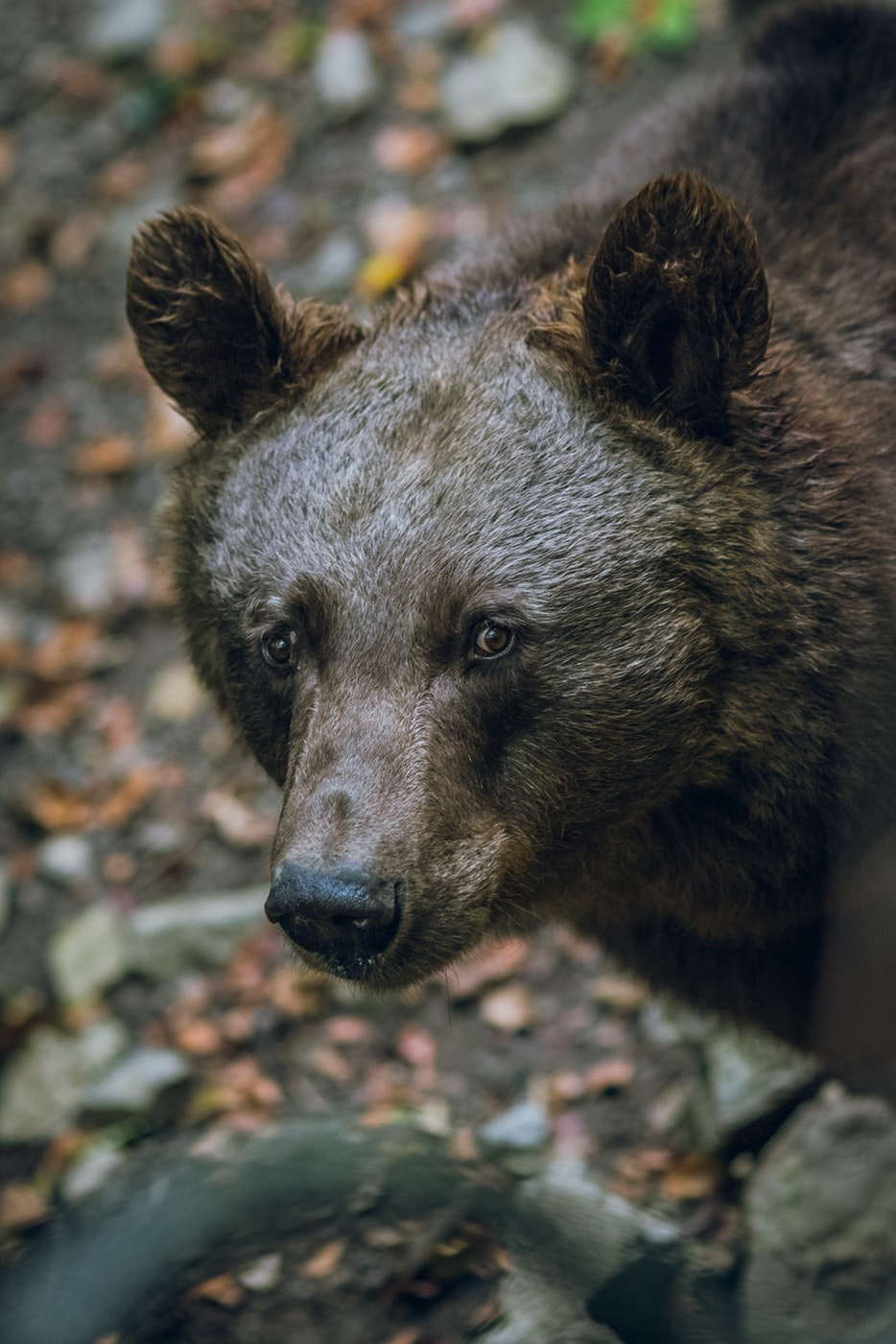 加拿大黑熊狩猎14天
