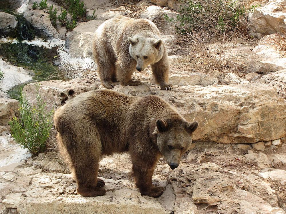 Syrian Bears