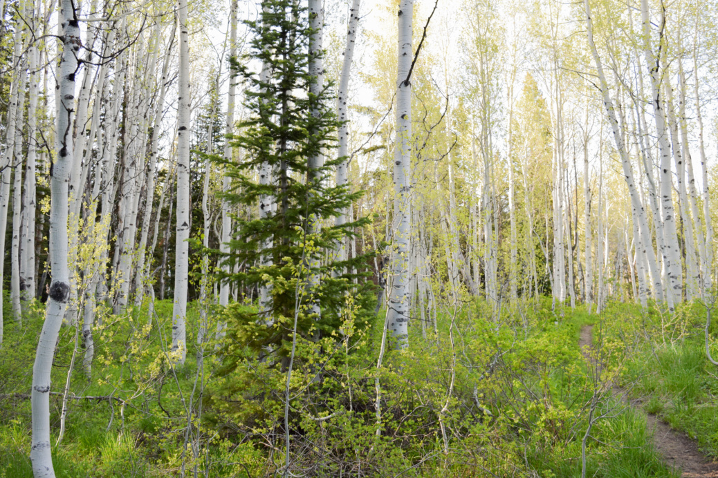 I love the pines and aspens in the Wasatch Mountains! Nature is a great way for me to reduce stress and hopefully get a break!