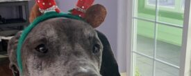 Moose at Christmas
