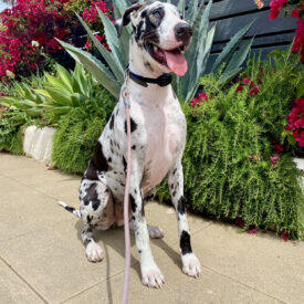 Luna  the Harlequin – Adopted