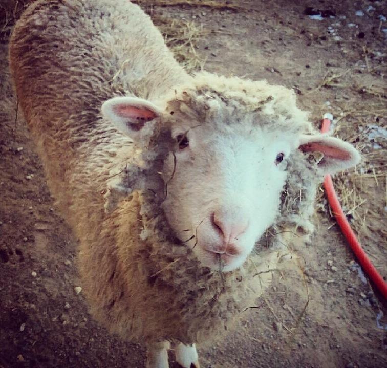 New sheep on the farm