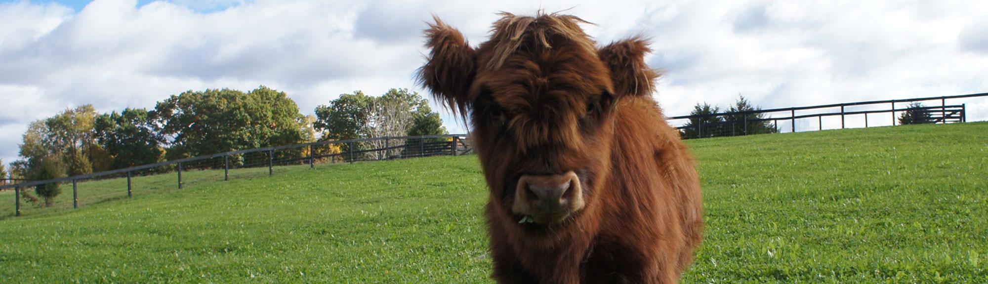Highland cow at Robin Hills Farm