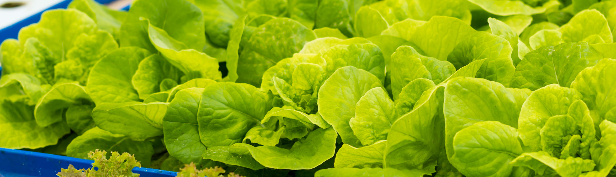 Aquaponic lettuce at Robin Hills Farm