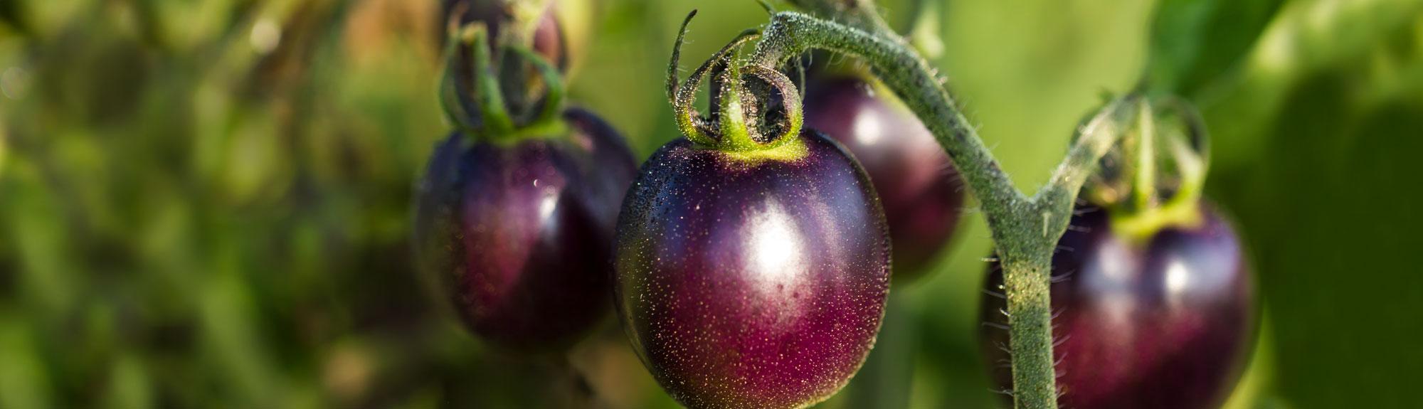 Purple tomatoes at Robin Hills Farm