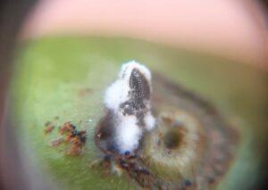 Como micro-organismos do solo podem ajudar no manejo de pragas agrícolas?