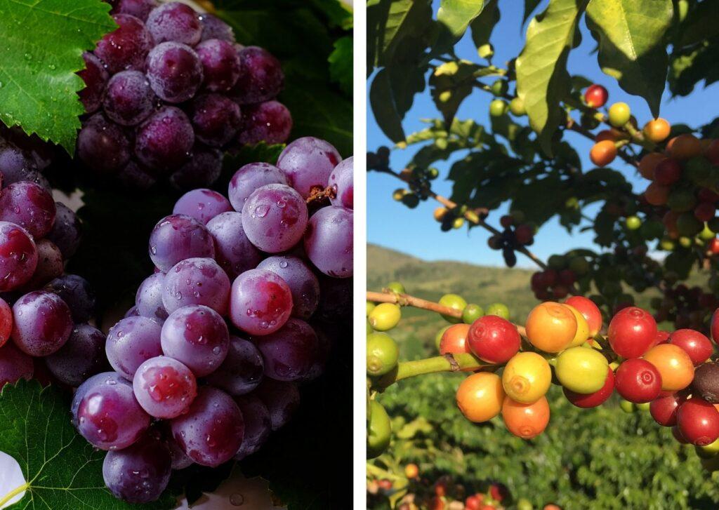 análise de solo cultivado com uva e café