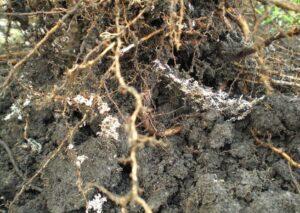 Fungos que beneficiam as raízes das plantas