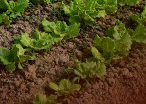 A microbiota do solo ajuda a combater estresses na horticultura