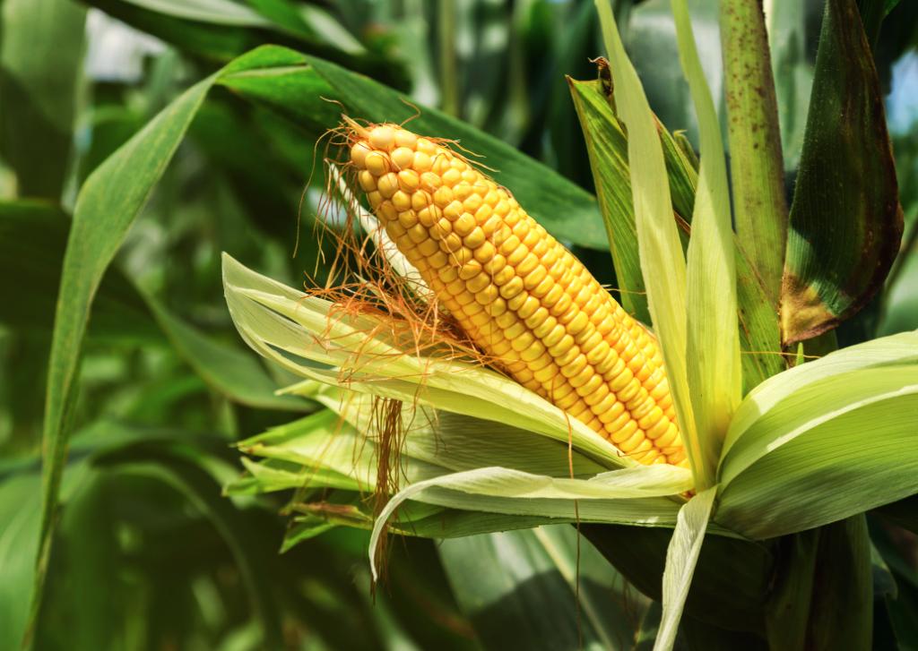 bioma do solo com milho