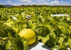 A análise genética na cultura do melão
