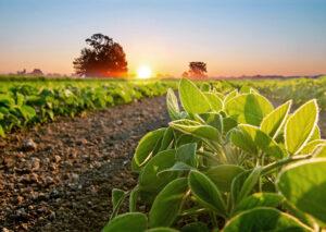 Três doenças da soja causadas por fungos