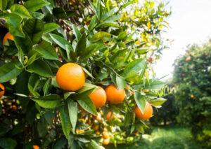 Análise de solo: a genética aplicada para à cultura de laranja