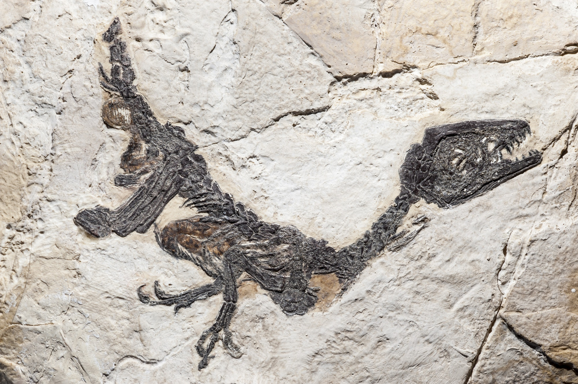 Reconstruction of fossil of Scipionyx samniticus