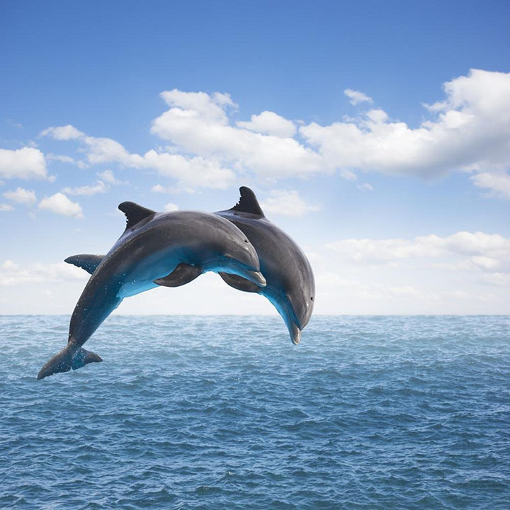 Two Jumping Dolphins wall sticker