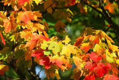 Maple Tree Leaves in Fall