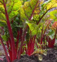 Beet Greens in Garden
