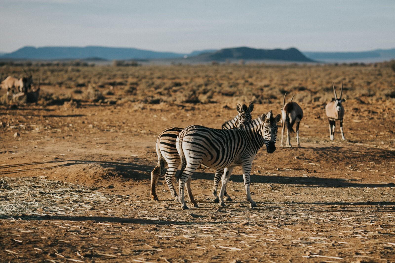 zebras safari south africa