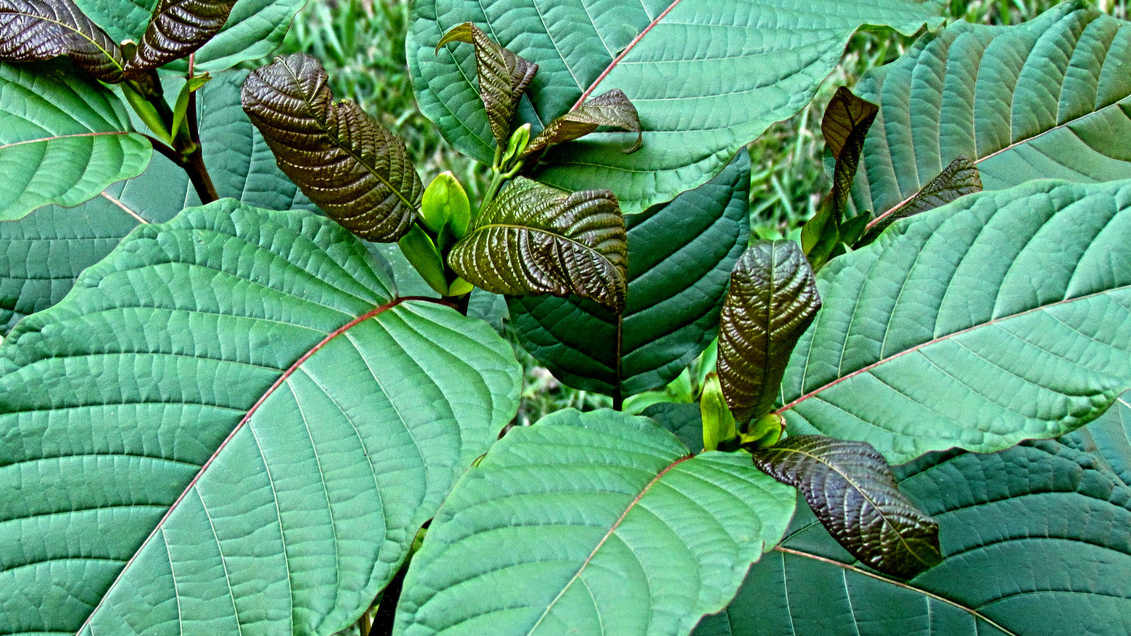Johns Hopkins Finds That Kratom Has Numerous Benefits And Low Potential For Abuse