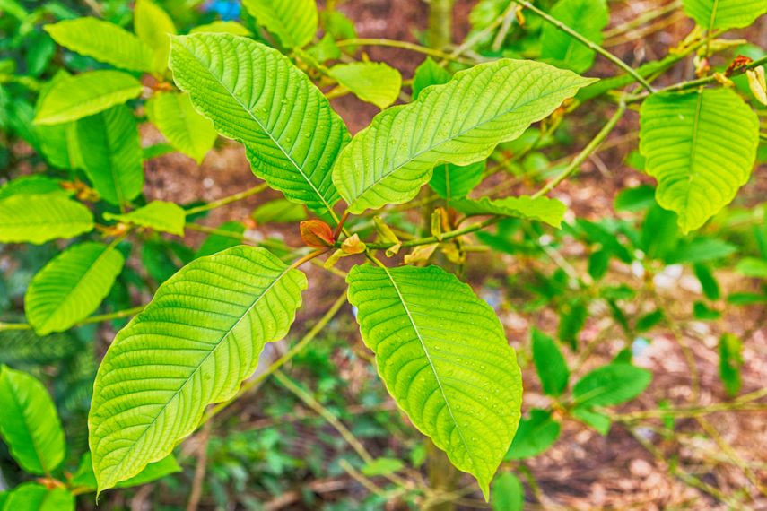 Scientific Study Confirms That There Are Roughly 15 Million Kratom Users In The United States