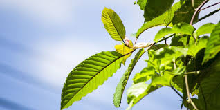 Kratom's Alkaloids Are Atypical Opioids, Practically Zero Overdose Risk And Relatively Little Withdrawal Due To Lack Of Beta-Arrestin-2 Recruitment