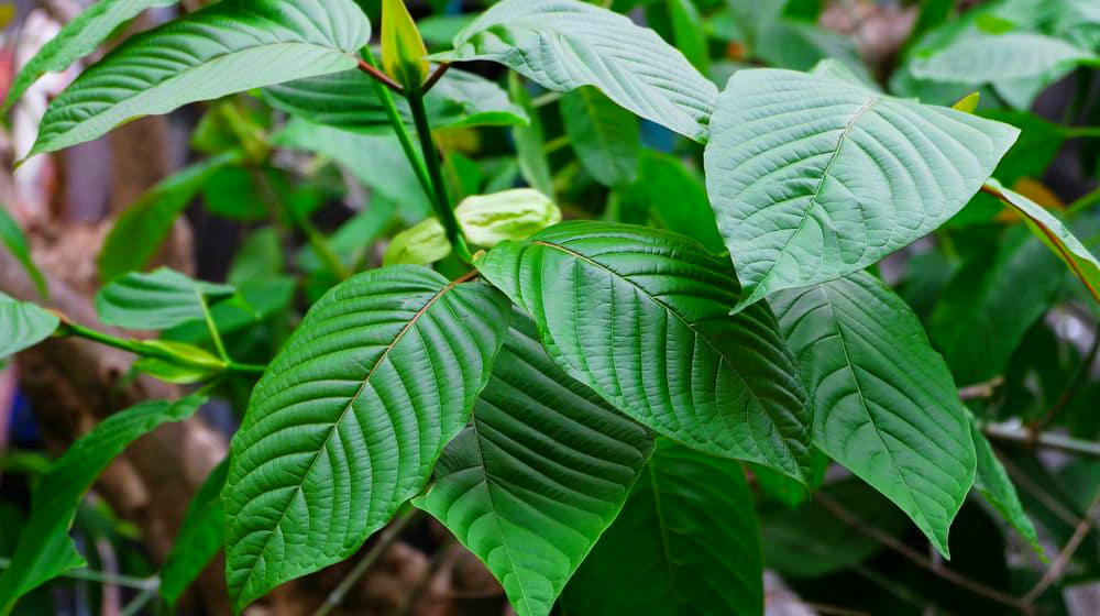 Kratom Contains Natural Opioid Antagonists, Which Is Likely The Scientific Reason That Kratom Is So Safe