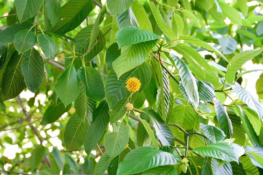 Scientific Study Finds That Kratom Is Perfect For Stopping The Opioid Pandemic, Since It Alleviates Opiate Withdrawal Symptoms But Does Not Cause Physiological Dependence