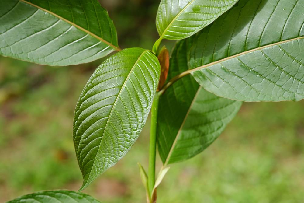 A Collection Of Stories About How Kratom Has Benefited, If Not Saved, People's Lives
