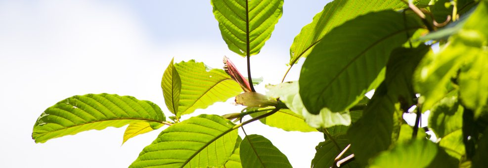 There Are Several Plants Closely Related To Kratom In The Mitragyna Genus, And They All Have Medicinal Properties