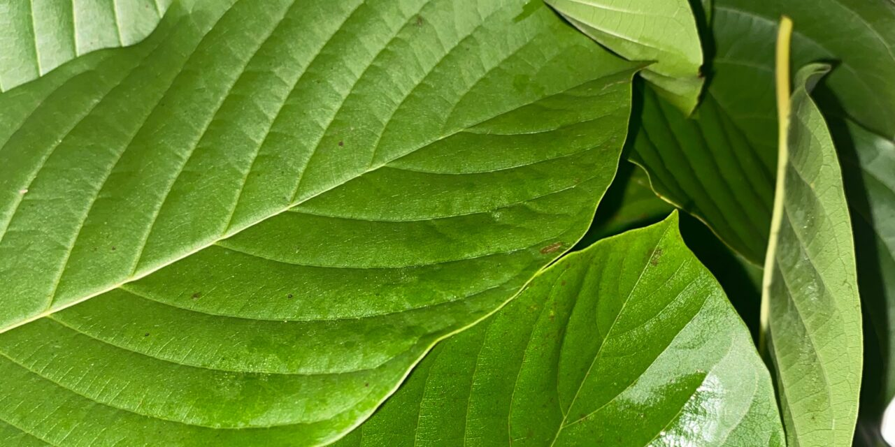 Making A Potent Cup Of Tea With Fresh Kratom Leaves