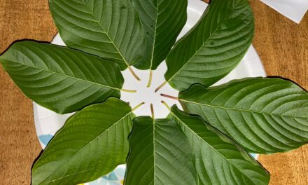 Chewing A Strong Dose Of Mature Kratom Leaves Experience Report, And A Guide On How To Properly Chew Kratom Leaves